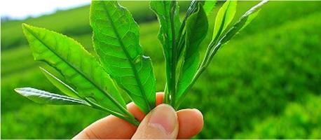 Wyciąg z liści zielonej herbaty